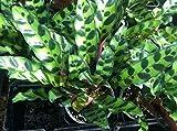 "CALATHEA - LANCIFOLIA - ZEBRA - LIVE PLANT - 4"" POTS - 1 PLANT"