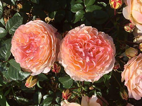 4lt Potted Floribunda Garden Rose Bush Repeat Flowering Babe Fragrant Pale Pink//Apricot