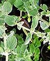 Zaatar Herb 50 Seeds - New Oregano - Origanum syriaca