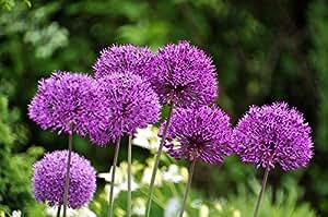 Allium, Ajo Purple Sensation - 3 bulbos