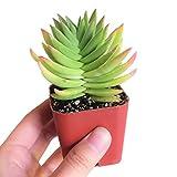Crassula Capitella Red Pagoda Shark Tooth Plant Colorful Succulent (2'' + Plastic Pot)