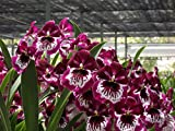 Red Alert! Miltoniopsis Lennart Karl Gottling orchid in spike now