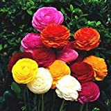 Ranunculus Rainbow Mix - Persian Buttercup Bulbs (Not Seeds) -10 Bulbs