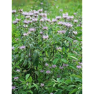 Perennial Farm Marketplace Monarda fistulosa (Wild Bergamot) Perennial, Size-#1 Container, Lavender-Pink Flowers : Garden & Outdoor
