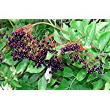 25 American ELDERBERRY FRUIT BUSH Shrub Tree Sambucus Nigra Seeds