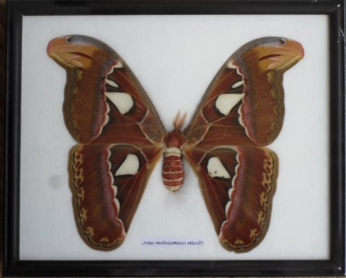 real-the-atlas-mothsf-butterfly-insect-gift-taxidermy-in-frame