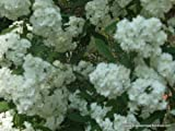 Bridal Wreath Spiraea, spring flowering, white flowers, TWO 1g plants