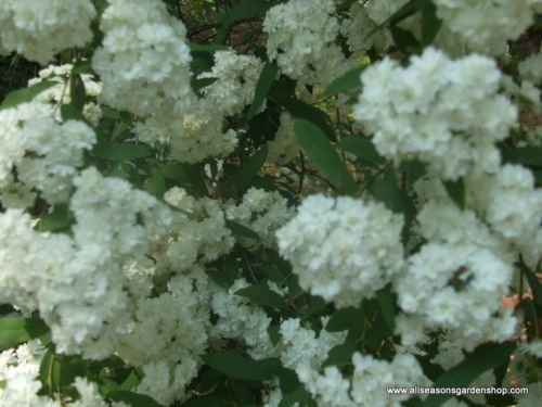 Bridal Wreath Spiraea, spring flowering, white flowers, TWO 1g plants by Unknown