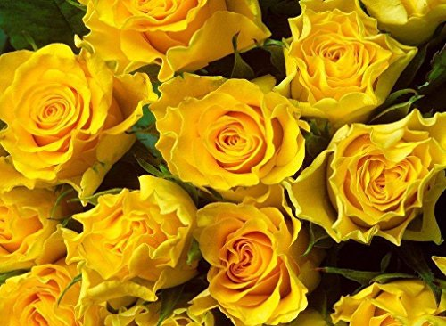 Beautiful Yellow Rose Bush! 10 Seeds!