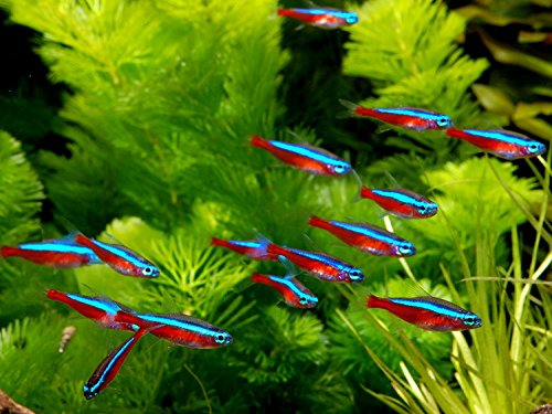 6 Tetra Cardinals Medium - Freshwater Live Tropical Fish