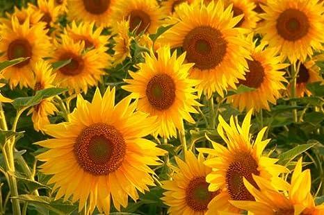 Sunflower Art Print Poster 24x36