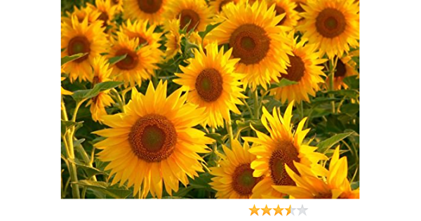 Pretty Sunflowers Poster Print Size A4 Floral Flower Art Poster Gift #14826 A4