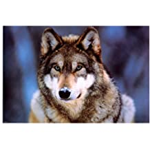 Grey Wolf - Photography Poster - 24 x 36