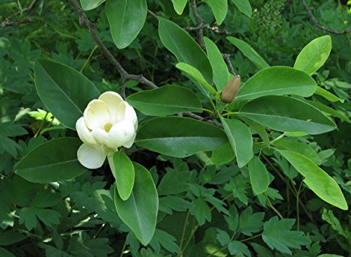 - 3 Seeds Sweet Bay Magnolia