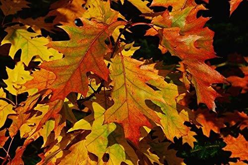 GEOPONICS Norte Redtree, Quercus rubra - Vivo e Planta Raãz ...