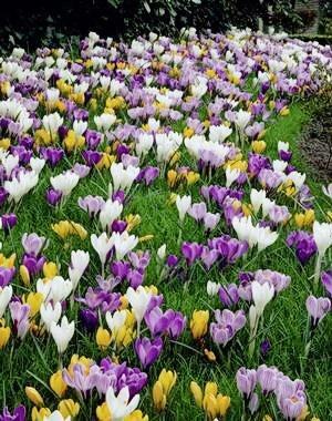 Large Jumbo Crocus Mixture Bulbs-- Fall planting! (40)