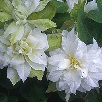 Clematis Duchess Of Edinburgh Double White Flowers May June And