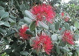 Calliandra is a species of flowering plants .