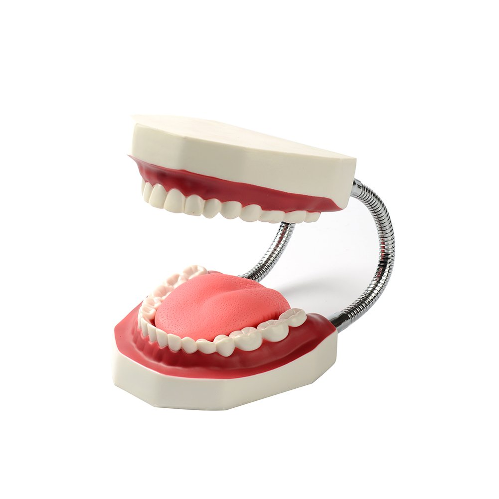Easyinsmile® Large Teeth Model - Dentist Teaching Oral Hygiene Model 8.66* 5.9* 5.5 inches Tooth model