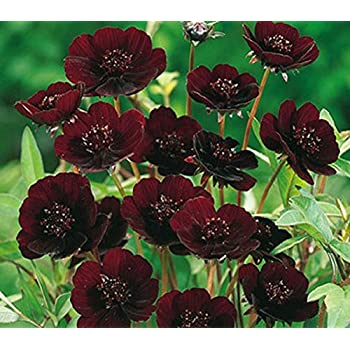 Rare Chocolate Cosmos Flower Seeds, Professional Pack, Beautiful Coreopsis New Variety