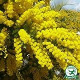 ミモザ 苗【ミモザアカシア】約1.3m プラスチック鉢植え