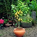 Bonsai Pear Tree Seeds (10 Pieces per bag) PLUS GIFT Perennial Bonsai Fruit Seeds