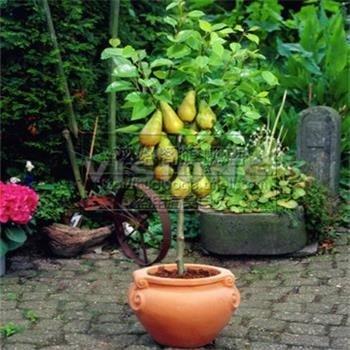 Bonsai Pear Tree Seeds (10 Pieces per bag) PLUS GIFT Perennial Bonsai Fruit Seeds