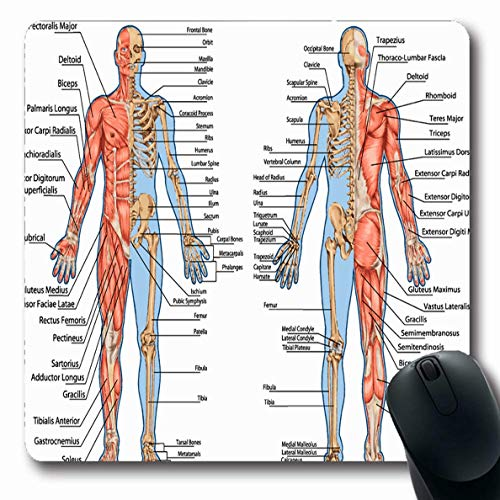 Ahawoso Mousepad Oblong 7.9x9.8 Body Human Skeleton Posterior Anterior View Didactic Education Anatomy Science Muscle System Muscular Non-Slip Rubber Mouse Pad Office Computer Laptop Game Mat