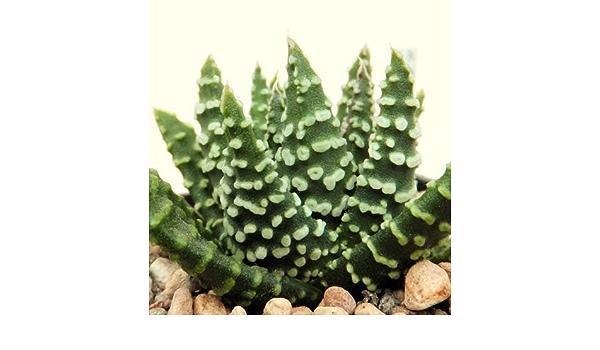 HAWORTHIA PUMILA DONUTS exotic rare miniature succulent cacti aloe seed 50 seeds