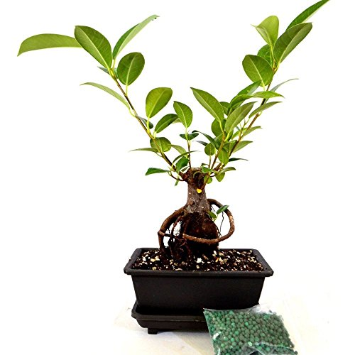 Live Ginseng Ficus Bonsai Tree Bonsai Small Ficus Retusa