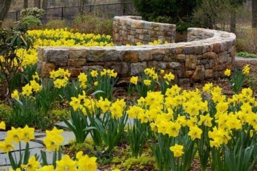 25 !!!! Wild Yellow Daffodil Bulbs Plant Now for Spring Blooms ! by pakuda