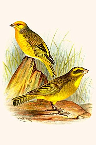 (Buyenlarge 0-587-29528-7-G812 Cape Canary & Sulphur-Colored Seed Eater (Edition 4621)