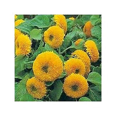 Teddy Bear Sunflower HUGE Flowers on 2-feet tall stems!!! Beautiful!!!
