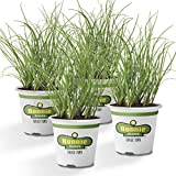 Bonnie Plants 4P5030 Organic Onion Chives-4 Pack Live Plants, Perennial In Zones 3-10, Non-GMO for Salads, Soups, Potatoes & More