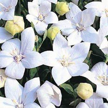 Outsidepride Balloon Flower White Platycodon Grandiflorus Plant Seed - 1000 Seeds