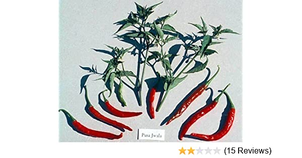 The Most Popular Hot Pepper Grown /& Used in Indian Pusa Jwala Chilli