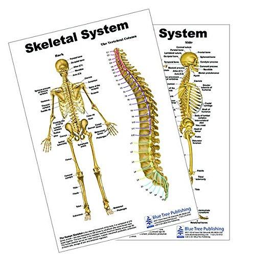 Skeletal System Supoort Card Blue Tree Publishing