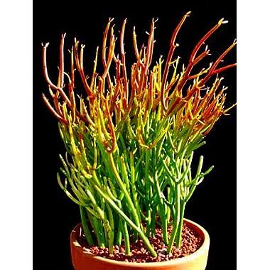 Fire Sticks Pencil Cactus - Euphorbia - Easy to grow - 6  Pot