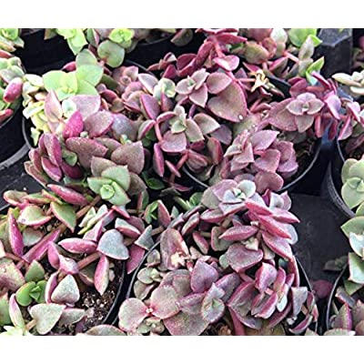 TEE 1 Bare Root Medium Succulent Plant. Crassula Calico Kitten. Leaves Blush a Beautiful Rose-Lilac in Drought or Cold - RK79 : Garden & Outdoor