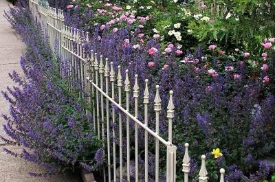 Classy Groundcovers - Nepeta215; faasenii 'Walkers Low' (Catmint 'Walkers Low', Nepeta racemosa, N. mussinii , Faassen's Catmint 'Walkers Low') {25 Pots - 3 1/2 in.}