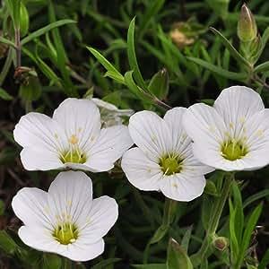 Arenaria montana - 2Litros