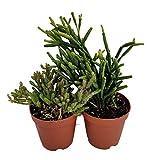 "Drunkard's Dream Cactus - Rhipsalis - 2"" Pots 2 Pack - Easy to Grow House Plant"