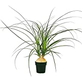 AMERICAN PLANT EXCHANGE Xtra Large Ponytail Palm Elephant Foot Trunk Live Plant, 6'' Pot, Indoor Air Purifier