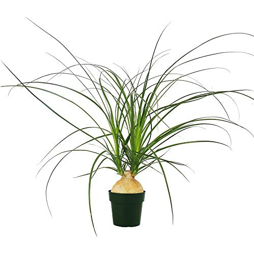 AMERICAN PLANT EXCHANGE Xtra Large Ponytail Palm Elephant Foot Trunk Live Plant, 6