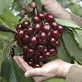 "Sweet Cherry ""Stella"" fruit tree in 5L pot 1-1.4M tall"