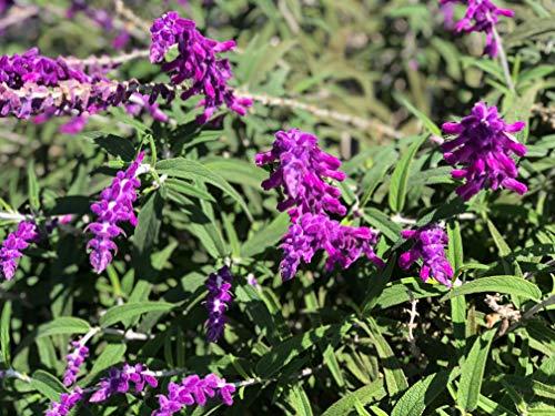 (P050X01. 1 Plant of Salvia Leucantha Mexican Sage)