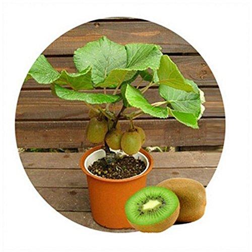 Kiwi fruit seeds,Potted plants,MIN tree Nutrition is rich lot 10 pcs beautiful,Bonsai,Vegetable melon seed