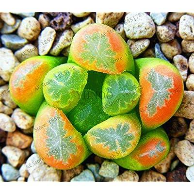 MAPPLEGREEN 204 Bonsai Lithops Pseudotruncatella Living Stone Rare Succulent Flores Home Garden Plant plantas, Indoor Flower Plante. 11 : Garden & Outdoor