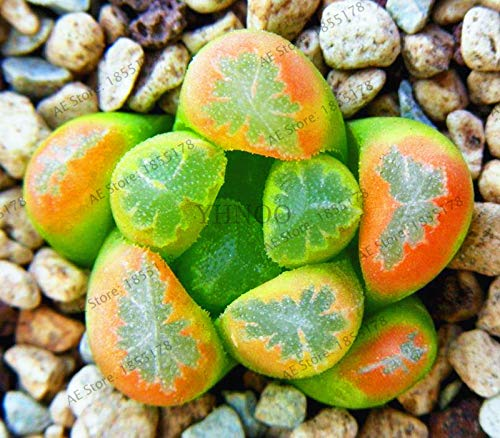 MAPPLEGREEN 204 Bonsai Lithops Pseudotruncatella
