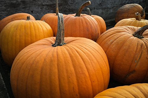 20 Big Max Pumpkin Seeds Cucurbita Maxima Great for Pies and Halloween by RDR Seeds